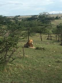 Biggest Lion