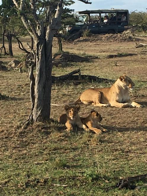 Curious lion cubs