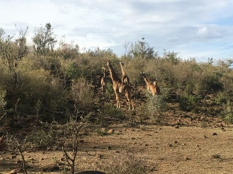 Giraffe on a Hill