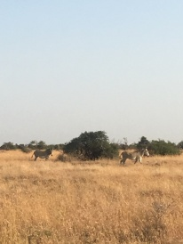 Grevy from afar