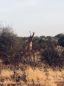 Mpala Reticulated Giraffe